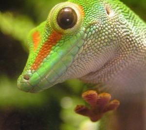 Gecko (Phelsuma)